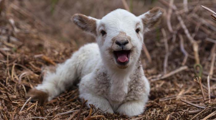 Phot représentant un agneau